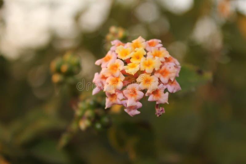 Los colores del Lantana florecen en la montaña de Himalaya foto de archivo