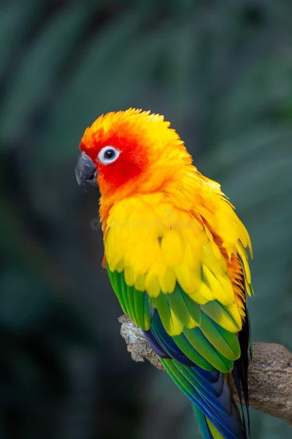 Los colores hermosos del periquito del sol de los solstitialis amarillos, anaranjados y rojos de Aratinga, tambi?n conocidos como fotografía de archivo