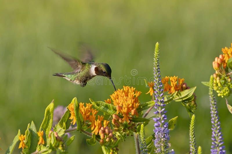 Los colubris Ruby-throated del Archilochus del colibrí fotografía de archivo libre de regalías