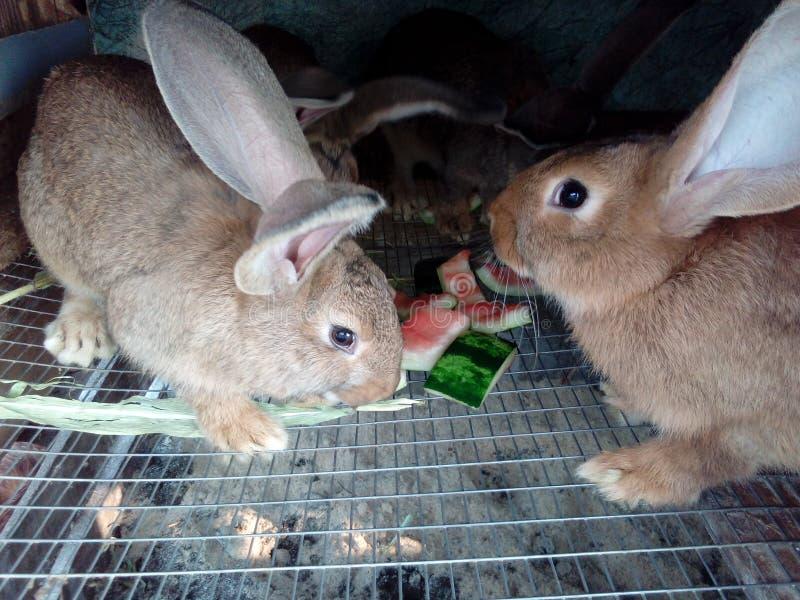 Los conejos comen la sandía fotos de archivo
