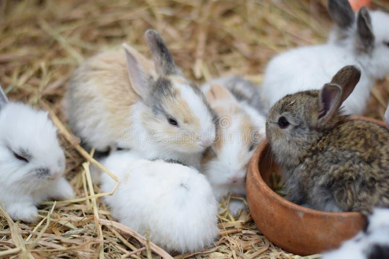 Los conejos del bebé en variedad colorean marrón y blanco negros en el heno imagen de archivo