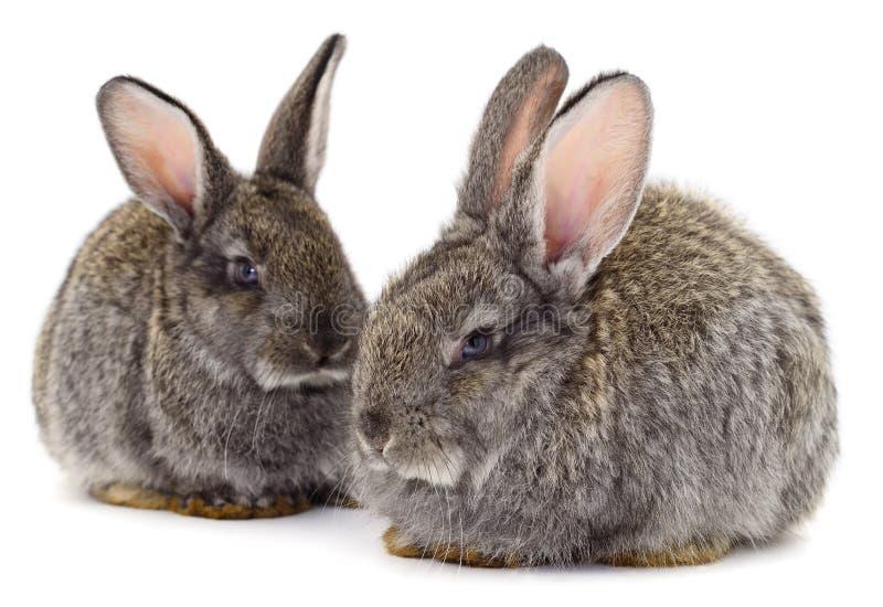 Los conejos grises aislaron fotografía de archivo libre de regalías