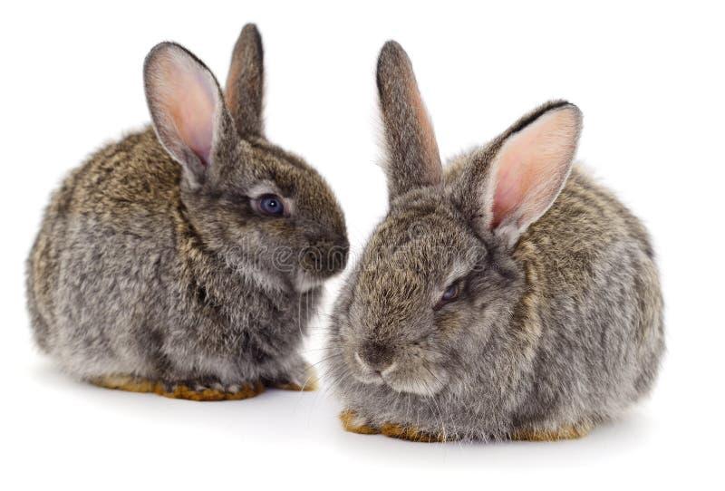 Los conejos grises aislaron imagen de archivo libre de regalías
