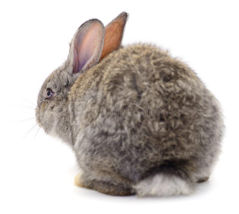 Los conejos grises aislaron imagen de archivo