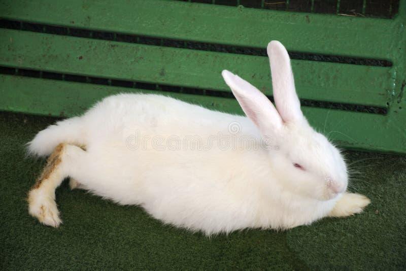 Los conejos relajan y comen la comida en jaula en la granja en Saraburi, Tailandia fotos de archivo libres de regalías