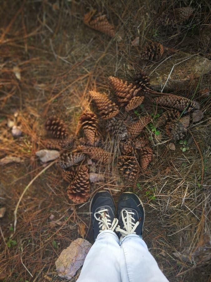los conos del árbol imperecedero en la tierra en el bosque fotos de archivo
