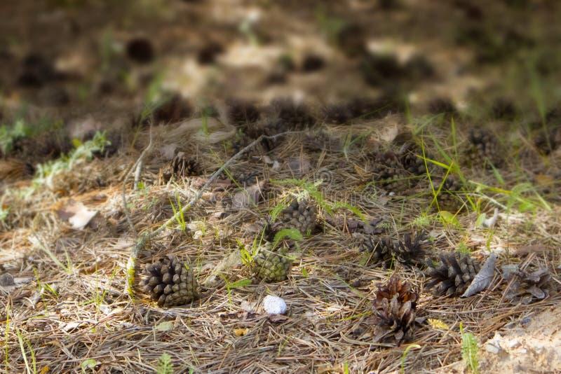 Los conos maduros abiertos caidos del pino que mienten en el bosque colocan imagen de archivo