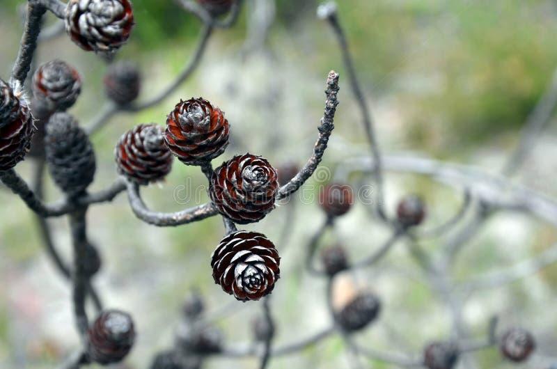 Los conos nativos australianos de Conestick se abrieron después de un bushfire fotos de archivo