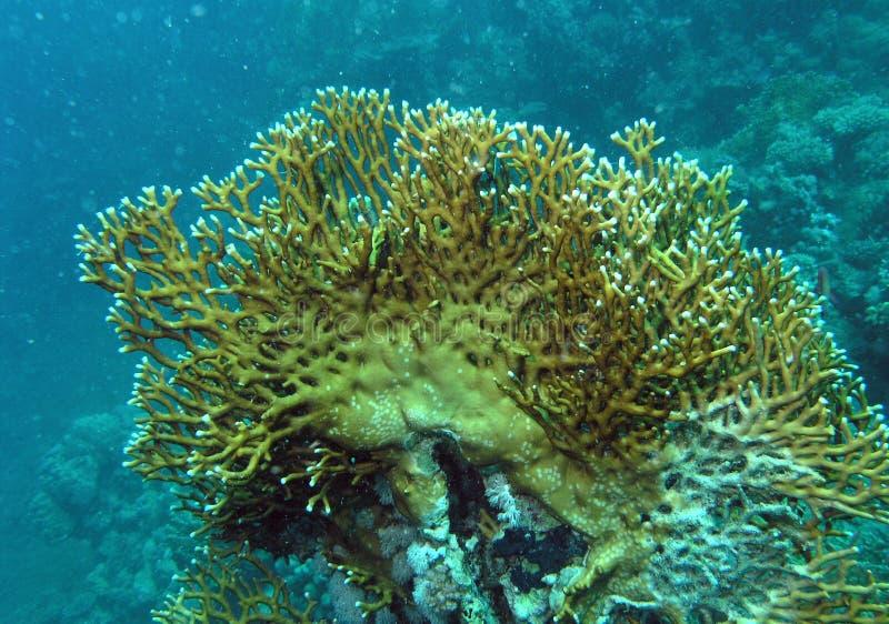 Los corales del fuego en el filón del Mar Rojo imagen de archivo