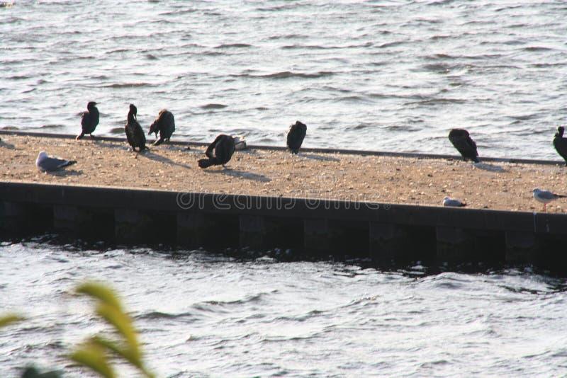 Los cormoranes toman un baño de sol imagen de archivo