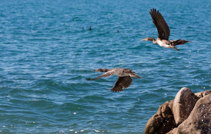 Los cormoranes vuelan sobre el mar imagen de archivo