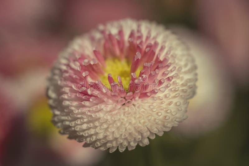 Los crisantemos, a veces llamados las momias o los chrysanths, son plantas florecientes del g?nero crisantemo en el Asteraceae de fotos de archivo libres de regalías