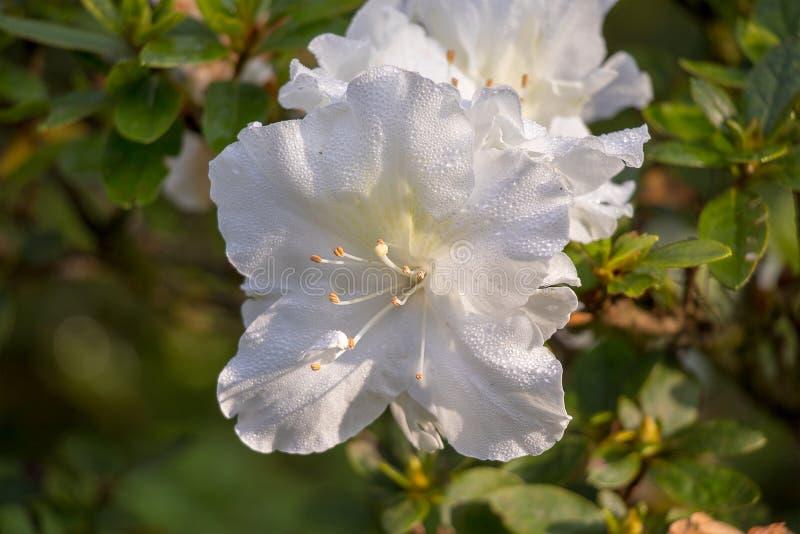 Los cuatro en punto blancos florecientes en el tiempo frío fotografía de archivo libre de regalías