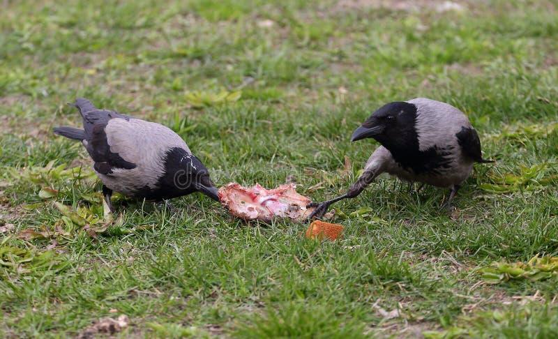 Los cuervos comparten un pedazo de comida en la hierba foto de archivo