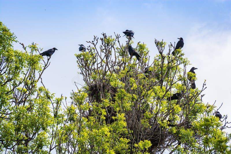 Los cuervos de la muchedumbre jerarquizan en árbol en Serbia fotos de archivo