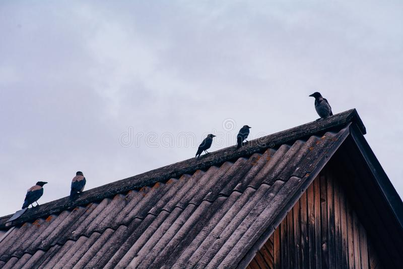 Los cuervos se sientan en el tejado de la casa en tiempo nublado fotografía de archivo