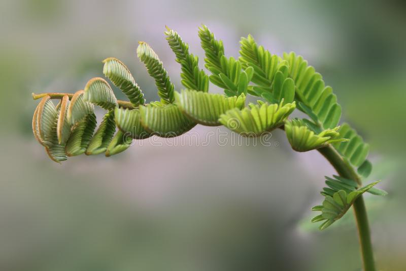 Los dasyrrhachis de Peltophorum florecen, Caesalpiniaceae, leguminosas, lanzamientos frondosos, copa imagen de archivo libre de regalías