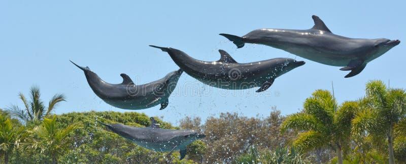 Los delfínes saltan en el aire foto de archivo