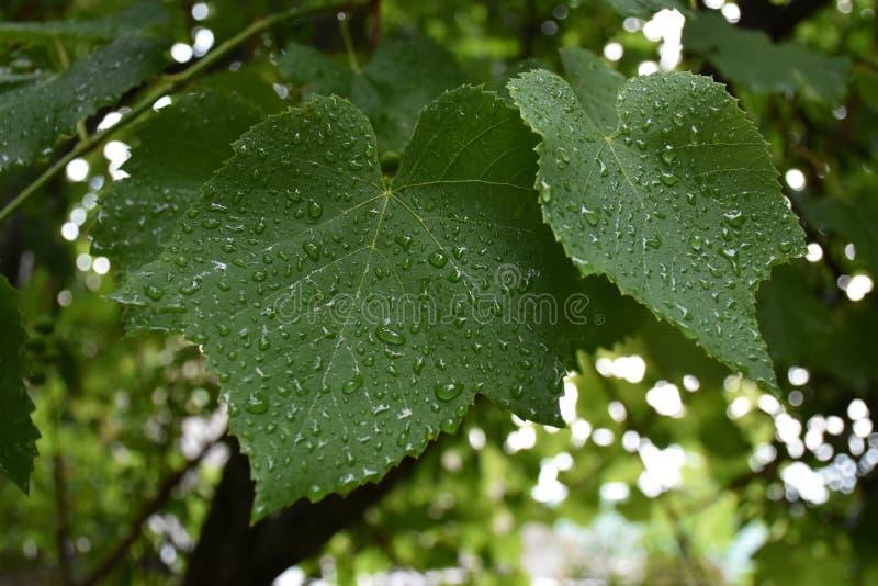 Los descensos del rocío en una vid verde hojean después de la primavera agradable fresca del verano del aire de la lluvia maravil foto de archivo libre de regalías