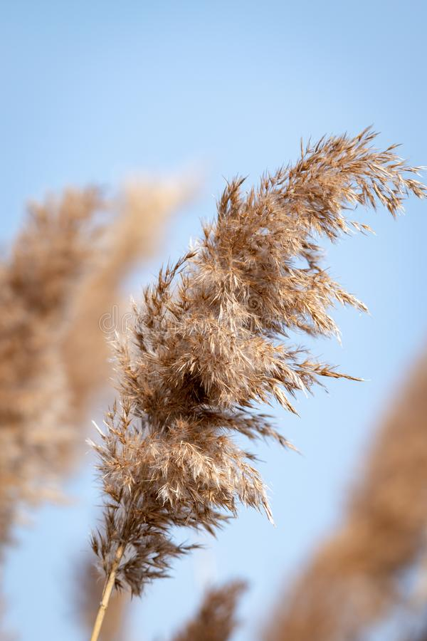Los detalles de la hierba del pantano aparecidos se cierran con un backgroud borroso foto de archivo