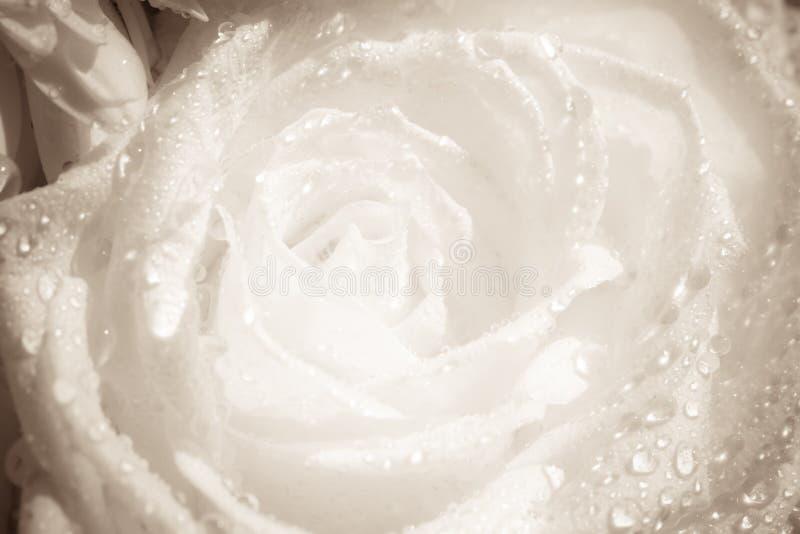 Los detalles de una flor blanca con agua caen el primer imagen de archivo libre de regalías
