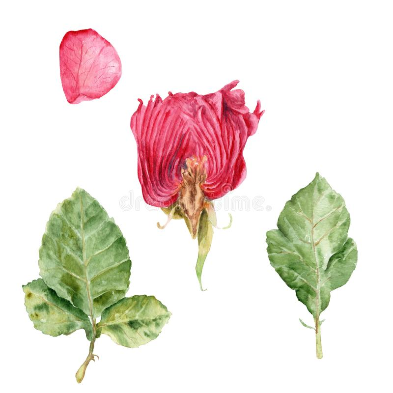 Los dibujos de la acuarela - subió en un corte, subió los pétalos, hojas libre illustration