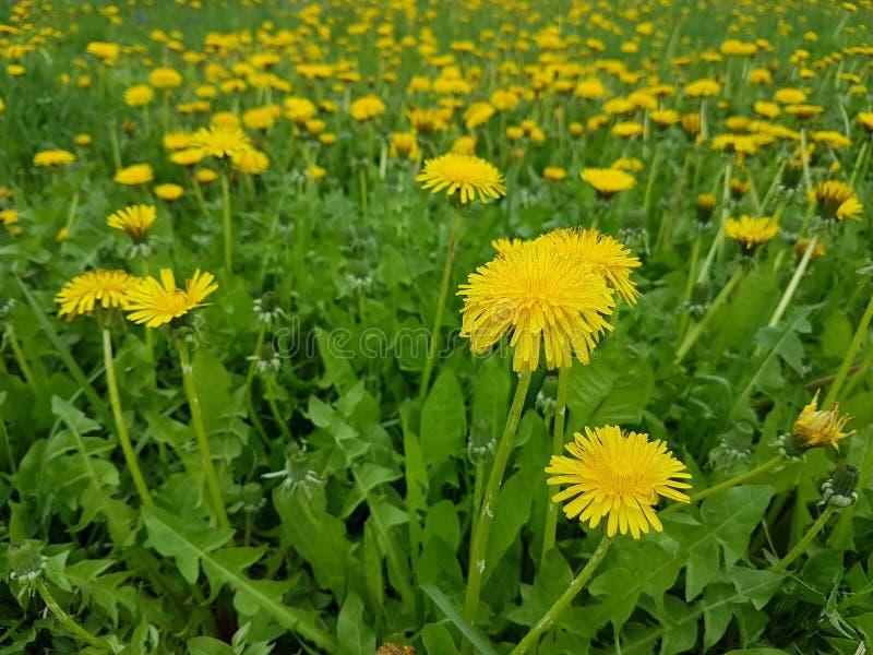 Los dientes de león amarillos numerosos florecen en el campo verde en el tiempo de primavera Bandera de las flores Background fotos de archivo