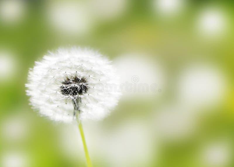 Los dientes de león dirigen las semillas en campo verde en la mañana soleada del verano Dackground borroso floral hermoso Flor sa imagen de archivo