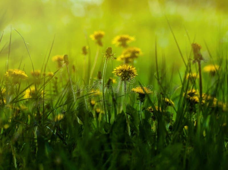 Los dientes de león están floreciendo en los rayos del sol de la primavera fotografía de archivo