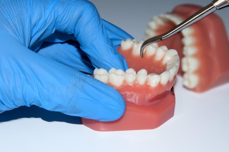 Los dientes dentales de la demostración de la mano del dentista modelan el mandíbula en laboratorio fotos de archivo