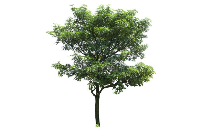 Los diversos árboles de Tailandia, colección fijaron ningún 13 aislados en el fondo blanco fotografía de archivo