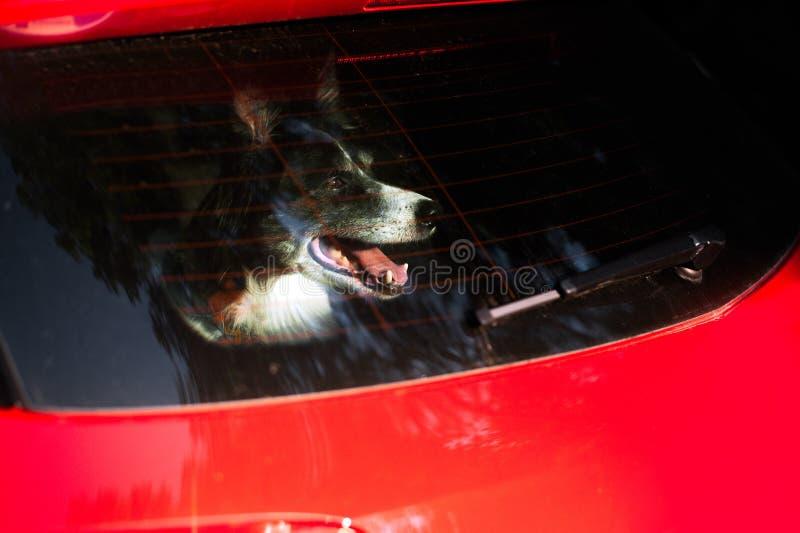 Los empujes del perro abozalan fuera de la ventanilla del coche Border collie blanco y negro en coche en verano caliente fotografía de archivo