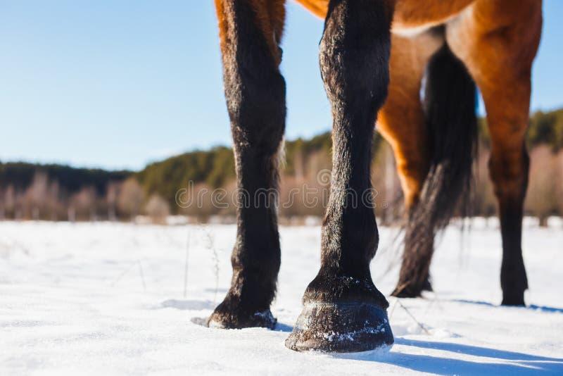 Los enganches del caballo de Brown en nieve en primavera imagen de archivo