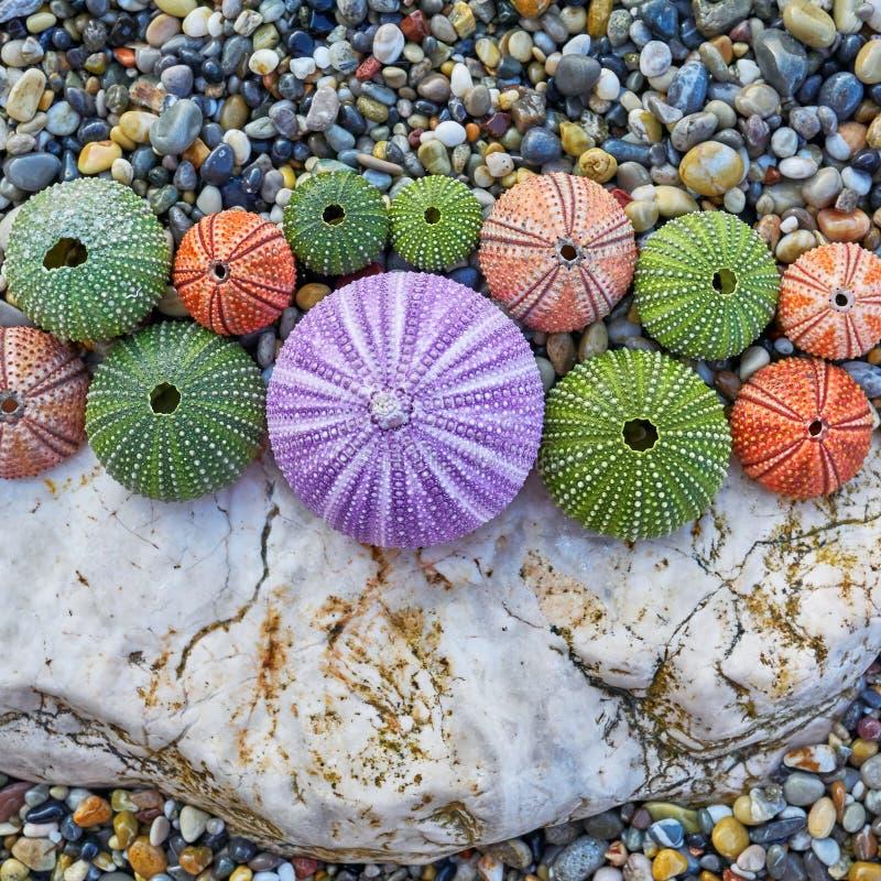 Los erizos de mar coloridos en la roca blanca y los guijarros varan fotos de archivo libres de regalías