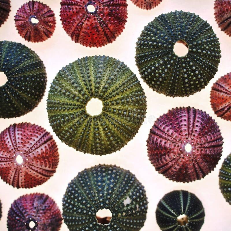 Los erizos de mar coloridos se cierran para arriba en el fondo translúcido blanco fotos de archivo