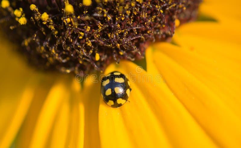 Los escarabajos fotografía de archivo