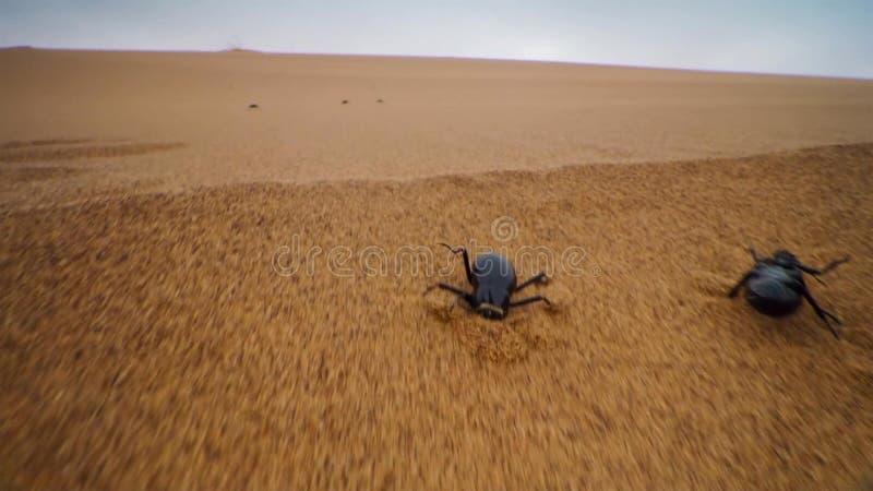 Los escarabajos Darkling compiten con al top de las dunas para alcanzar la niebla antes de que desaparezca en la duna del Namib,  fotos de archivo