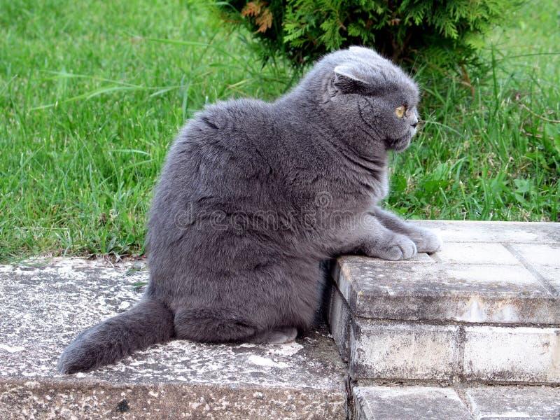 Los escoceses ahumados del color doblan el gato que descansa sobre las escaleras en el jardín imágenes de archivo libres de regalías