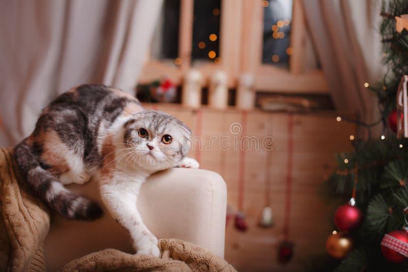 Los escoceses de la raza del gato doblan, la Navidad y Año Nuevo imagen de archivo
