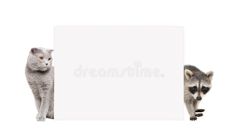 Los escoceses del mapache y del gato doblan mirar a escondidas de detrás una bandera imágenes de archivo libres de regalías