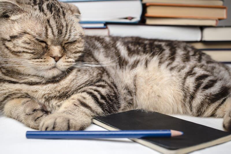 Los escoceses divertidos doblan el gato que hace la preparación, ella estaba cansada y se cayó dormido entre los libros de estudi fotografía de archivo libre de regalías
