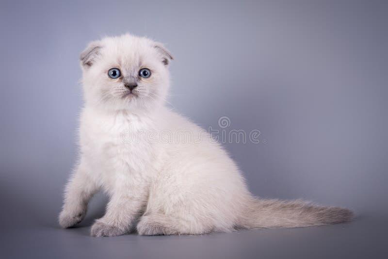 Los escoceses doblan blanco azul del colorpoint del pequeño gatito lindo imagen de archivo