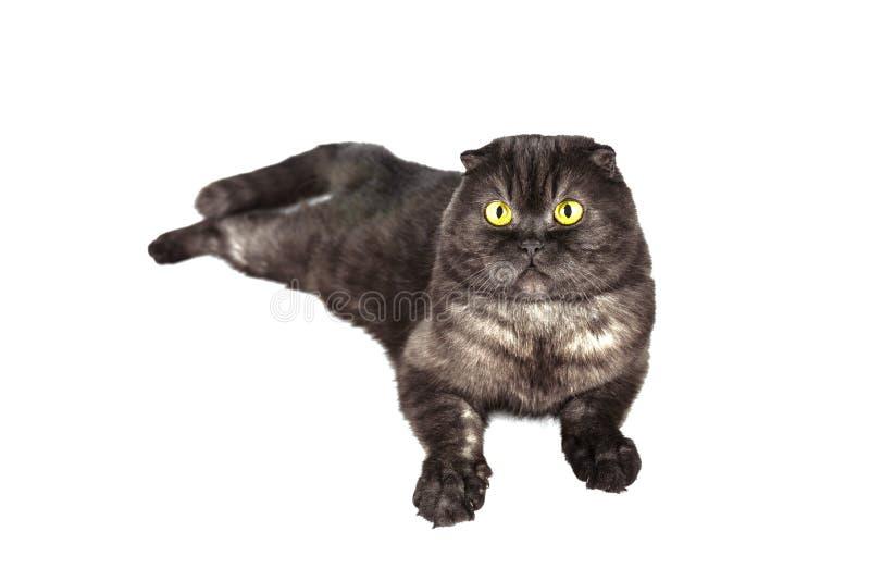 Los escoceses doblan el gato, con los ojos amarillos, en las diversas actitudes, aisladas en el fondo blanco imagenes de archivo