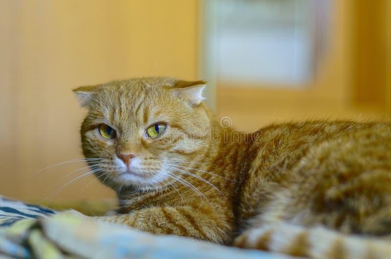 Los escoceses jovenes doblan el gato que miente en la manta imagenes de archivo