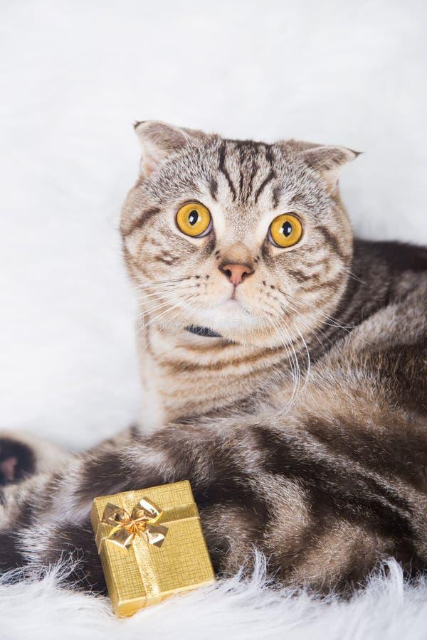 Los escoceses lindos doblan con la caja de regalo de oro en la piel blanca fotos de archivo libres de regalías