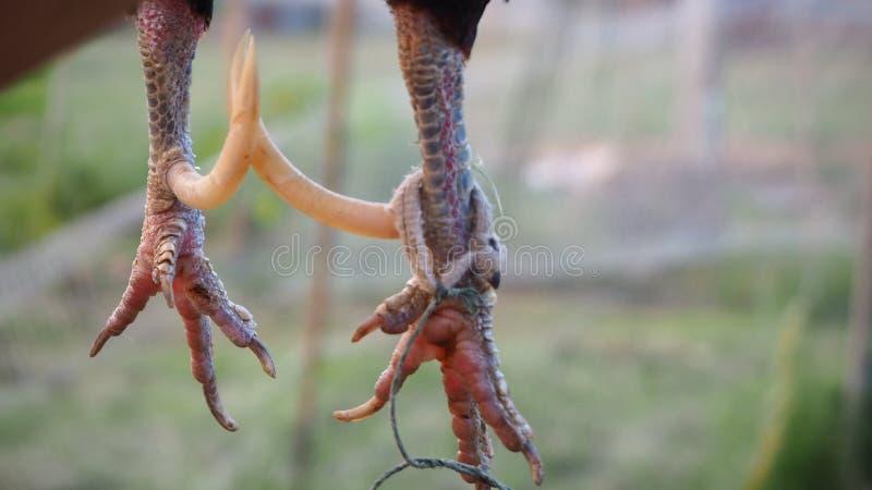 Los est?mulos de pollos pequenos son pollo agudo y m?s largo que ordinario foto de archivo libre de regalías