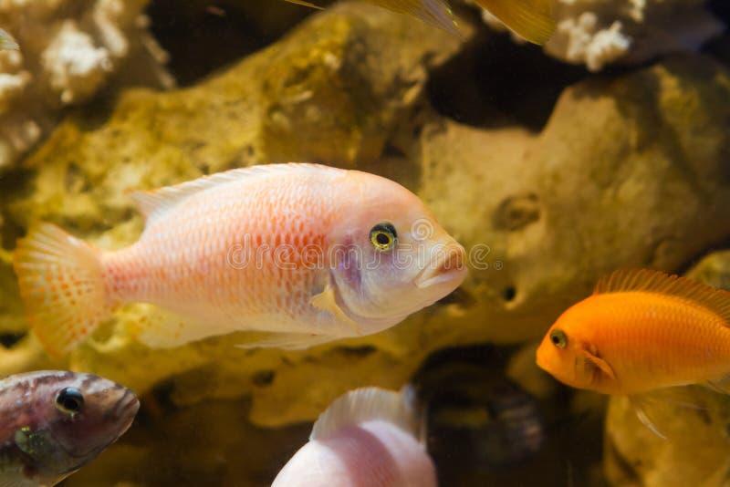 Los estherae de Maylandia de los pescados de cichlid del lago Malawi en pseudo acuario marino con las piedras, aguamarina de agua imagenes de archivo