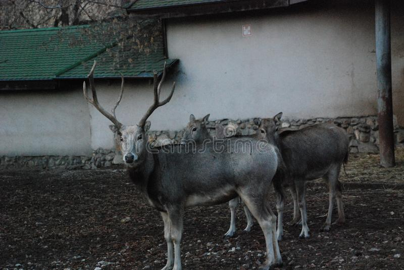 Los fantasmas blancos y negros de los ciervos de una película de terror salieron para un paseo imagen de archivo libre de regalías