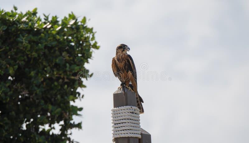 Los femoralis de Falco del halcón de Aplomodo del halconero prisionero se encaramaron en un poste en México imágenes de archivo libres de regalías