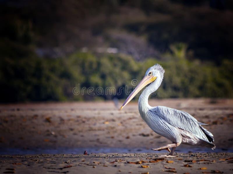 Los fescens Pelican o Pelecanus, con respaldo rosa, van a la playa en el mar Laguna Somone en África, Senegal Es imagen de archivo libre de regalías